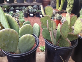 all kinds of cacti.