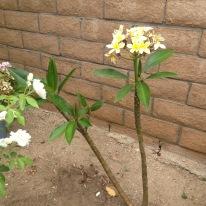 Plumerias bloom here. Are we in Hawaii?