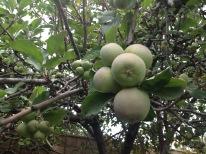 Mini apples.